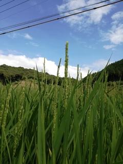 稲風景.jpg